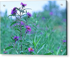 Purple Wildflowers Acrylic Print by Becky Lodes