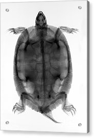 Red-eared Slider Turtle X-ray Acrylic Print by Ted Kinsman