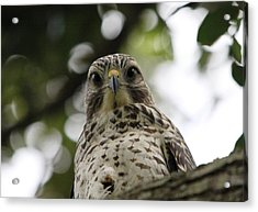 Red Shouldered Hawk Acrylic Print by Jeanne Andrews