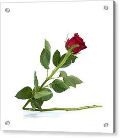 Red Tulip Acrylic Print by Bernard Jaubert