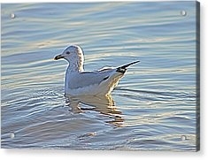 Ring-billed Gull Acrylic Print by Jeanne Kay Juhos