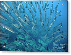School Of Pelican Barracudas Acrylic Print by Sami Sarkis