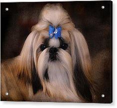 Shih Tzu Acrylic Print by Jai Johnson