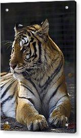 Siberian Tiger Acrylic Print