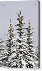 Snow Covered Evergreen Trees Calgary Acrylic Print by Michael Interisano