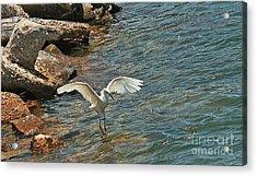 Snowy Egret  Acrylic Print by Terri Mills