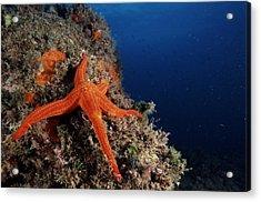 Starfish Acrylic Print by Alexis Rosenfeld