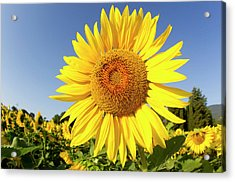 Sunflower Fields In Tuscany,italy. Acrylic Print by Chris Cole