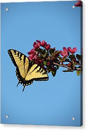Swallowtail Butterfly Acrylic Print by Rebecca Overton