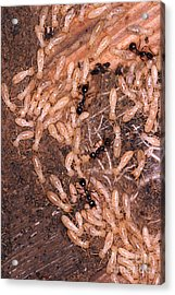 Termite Nest Reticulitermes Flavipes Acrylic Print by Ted Kinsman
