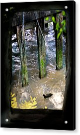 Acrylic Print featuring the photograph Thames Coot by Richard Piper
