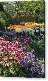 Tulip (tulipa Sp.) Borders Acrylic Print by Dr Keith Wheeler