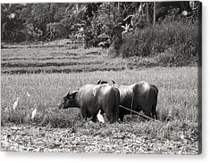 Water Buffalo Acrylic Print by Jane Rix