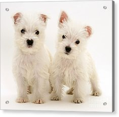 West Highland White Terriers Acrylic Print by Jane Burton