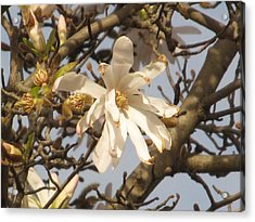 White Magnolias Acrylic Print by Alfred Ng