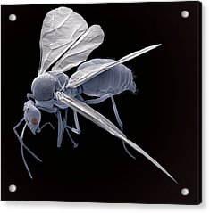 Winged Ant, Sem Acrylic Print by Steve Gschmeissner