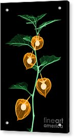 X-ray Of Chinese Lantern Plant Acrylic Print by Ted Kinsman