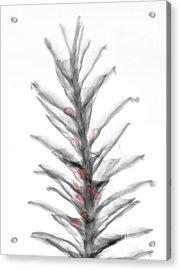 X-ray Of Pinecone With Seeds Acrylic Print by Ted Kinsman