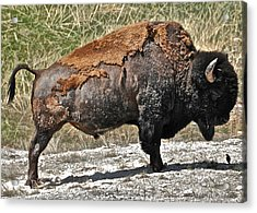 Yellowstone Acrylic Print by Arturo Padilla