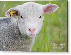 Young Sheep Acrylic Print
