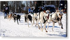 2011 Open North American Sled Dog Race Acrylic Print by Gary Whitton