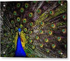 Peacock Acrylic Print by Brian Stevens