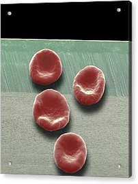 Red Blood Cells, Sem Acrylic Print by Steve Gschmeissner