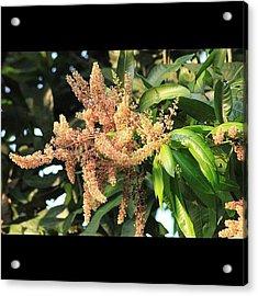 أزهار شجرة المانجو، Acrylic Print