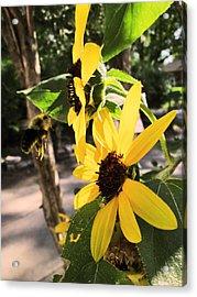 Bee And Sunflower  Acrylic Print by Jon Baldwin  Art