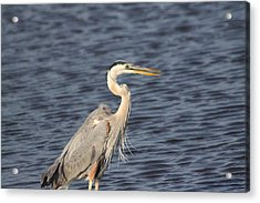Blue Heron Acrylic Print by Jeanne Andrews