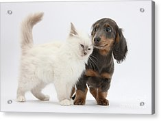 Blue-point Kitten & Dachshund Acrylic Print by Mark Taylor