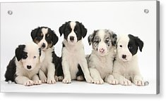Border Collie Puppies Acrylic Print by Mark Taylor
