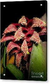 Bulbophyllum Orchid Acrylic Print by Dant� Fenolio
