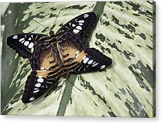 Butterfly Acrylic Print by Nick Mares
