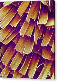 Butterfly Wing, Sem Acrylic Print by Susumu Nishinaga