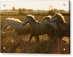 Camargue Horse Equus Caballus Group Acrylic Print by Konrad Wothe