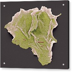 Cheek Squamous Cells, Sem Acrylic Print by Steve Gschmeissner