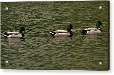 Acrylic Print featuring the photograph 3 Ducks by Josef Pittner