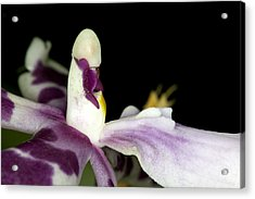 Exotic Orchid Flower Acrylic Print