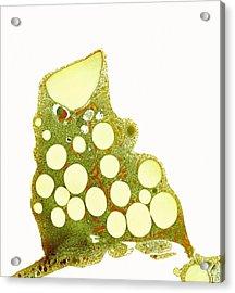 Fat Cells, Tem Acrylic Print by