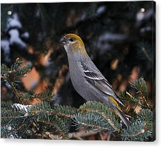 Female Pine Grosbeak Acrylic Print
