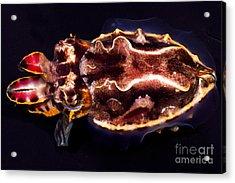 Flamboyant Cuttlefish Acrylic Print by Dante Fenolio