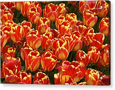 Flaming Tulips Acrylic Print by Michele Burgess