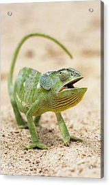 Flap-necked Chameleon Acrylic Print by Georgette Douwma