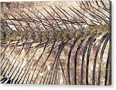 Fossilised Fish Acrylic Print by Lawrence Lawry