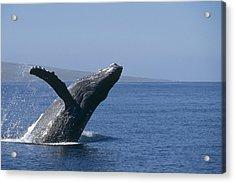 Humpback Whale Breaching Maui Hawaii Acrylic Print by Flip Nicklin