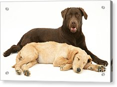 Labradoodle And Labrador Retriever Acrylic Print by Jane Burton