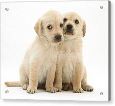 Labrador Retriever Puppies Acrylic Print by Jane Burton