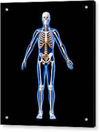 Male Skeleton, Artwork Acrylic Print by Roger Harris