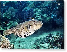 Map Pufferfish Acrylic Print by Georgette Douwma